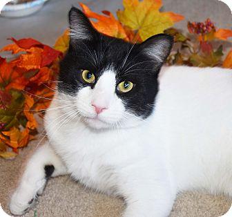 Domestic Shorthair Cat for adoption in Bristol, Connecticut - Junior
