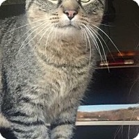 Domestic Shorthair Cat for adoption in Hampton, Illinois - Bubbe