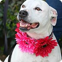 Adopt A Pet :: Layla - South El Monte, CA