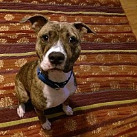 American Pit Bull Terrier/Boxer Mix Dog for adoption in Frisco, Texas - Caesar