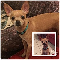 Chihuahua Dog for adoption in Naples, Florida - Jack