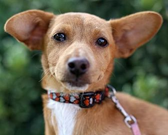 Dachshund/Chihuahua Mix Puppy for adoption in San Diego, California - Toyo