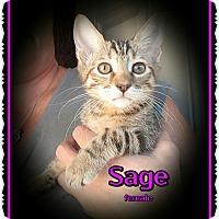 Domestic Shorthair Kitten for adoption in Richmond, California - Sage