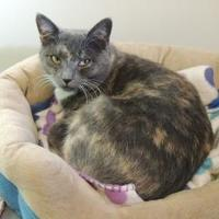 Domestic Shorthair/Domestic Shorthair Mix Cat for adoption in Westville, Indiana - Pippa