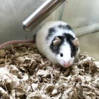 Adopt A Pet :: Walnut - Annapolis, MD