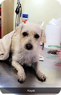 Terrier (Unknown Type, Medium) Mix Dog for adoption in Chico, California - Kayak