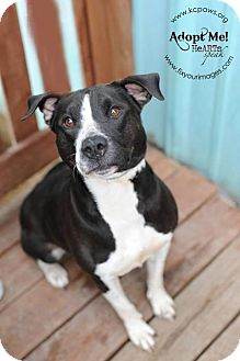 American Bulldog/Labrador Retriever Mix Dog for adoption in Liberty, Missouri - Charlotte