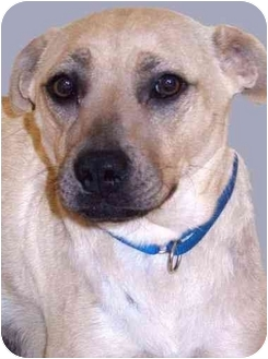 American Pit Bull Terrier/Labrador Retriever Mix Dog for adoption in Grass Valley, California - Cherry Carmel