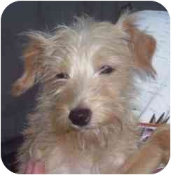 Terrier (Unknown Type, Small) Mix Puppy for adoption in Lonedell, Missouri - Trix