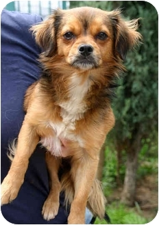 Spaniel (Unknown Type)/Tibetan Spaniel Mix Dog for adoption in Los Angeles, California - JUD