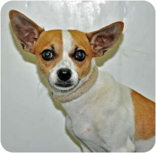 Chihuahua Dog for adoption in Port Washington, New York - Chex