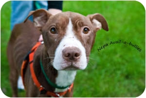 American Pit Bull Terrier Mix Dog for adoption in WARREN, Ohio - Perry