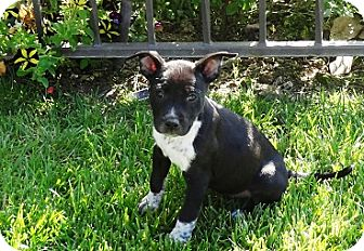 Border Collie/Labrador Retriever Mix Puppy for adoption in Tustin, California - Whitney
