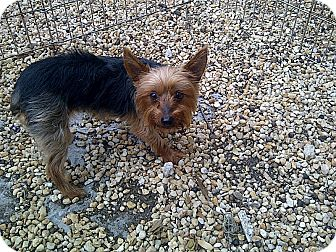 Yorkie, Yorkshire Terrier Dog for adoption in St. Petersburg, Florida - Jewels