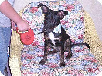 "Terrier (Unknown Type, Medium) Mix Puppy for adoption in New Castle, Pennsylvania - "" Stella """
