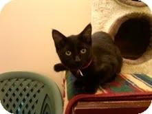 Domestic Shorthair Cat for adoption in Medina, Ohio - Mary