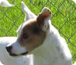 Jack Russell Terrier Dog for adoption in Scottsdale, Arizona - LEESA