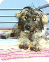Keeshond Mix Dog for adoption in Encino, California - Keesha