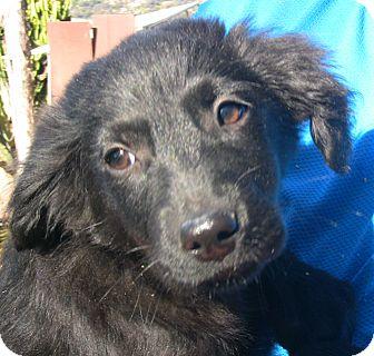 Australian Shepherd/Spaniel (Unknown Type) Mix Puppy for adoption in Poway, California - Catherine