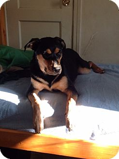 Shepherd (Unknown Type)/Labrador Retriever Mix Dog for adoption in Studio City, California - Abby
