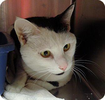 Domestic Shorthair Cat for adoption in Marietta, Georgia - LILY