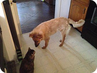 German Shepherd Dog Dog for adoption in Kaufman, Texas - Montego