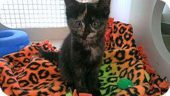 Domestic Shorthair Kitten for adoption in Livonia, Michigan - Daisy
