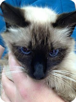 Siamese Cat for adoption in St. Francisville, Louisiana - Sassy