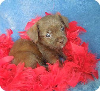 Chihuahua/Shih Tzu Mix Puppy for adoption in Charlotte, North Carolina - Carmen