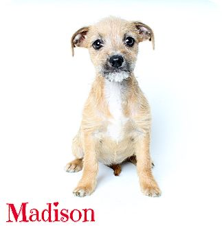 Terrier (Unknown Type, Small)/Dachshund Mix Dog for adoption in Laplace, Louisiana - Madison