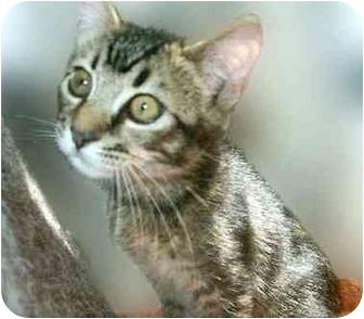 Domestic Shorthair Kitten for adoption in San Clemente, California - CATEGORY = Cute Kitten!
