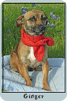 Terrier (Unknown Type, Small) Mix Dog for adoption in Hillsboro, Texas - Ginger