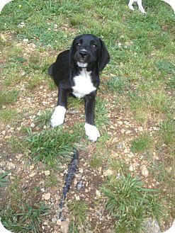 Hound (Unknown Type)/Labrador Retriever Mix Puppy for adoption in Snohomish, Washington - Myra, full of personality!