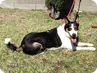 Border Collie Dog for adoption in San Pedro, California - LUCY