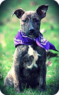 Pit Bull Terrier/Labrador Retriever Mix Puppy for adoption in Harrisburg, Pennsylvania - GaGa