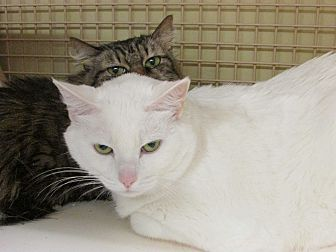 Domestic Shorthair Cat for adoption in Richmond, Virginia - Justine
