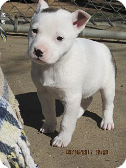 Pit Bull Terrier Puppy for adoption in Portland, Maine - VELMA