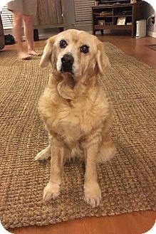 Golden Retriever/Cocker Spaniel Mix Dog for adoption in New Canaan, Connecticut - Zsa Zsa