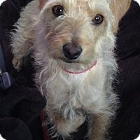 Adopt A Pet :: Louise - Los Angeles, CA