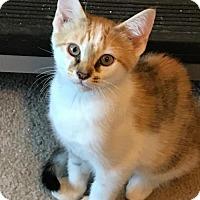Adopt A Pet :: Izzie - Independence, MO