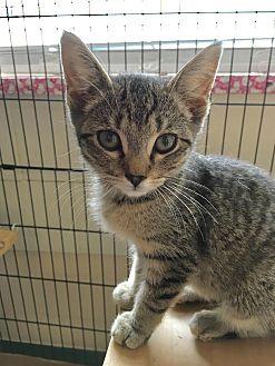 Domestic Shorthair Kitten for adoption in East Brunswick, New Jersey - Martini