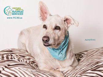 German Shepherd Dog Dog for adoption in Camarillo, California - *DUKE