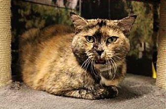 Domestic Shorthair Cat for adoption in Encino, California - Cali