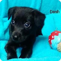 Adopt A Pet :: Dash - Trenton, NJ