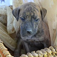 Adopt A Pet :: Isobel (Fostered in TN) - Brighton, TN