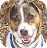 Jack Russell Terrier Mix Dog for adoption in Eatontown, New Jersey - Cosmo