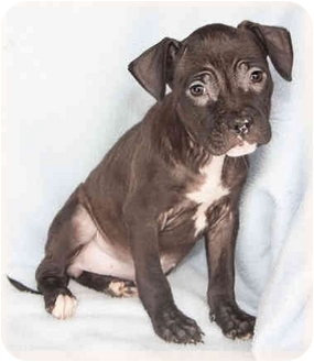 American Pit Bull Terrier Mix Puppy for adoption in Howell, Michigan - Janice