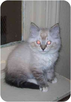Birman Kitten for adoption in Linton, Indiana - FRISCO
