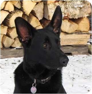 German Shepherd Dog Dog for adoption in Wayland, Massachusetts - Duncan