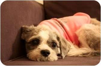 Shih Tzu Dog for adoption in Long Beach, New York - Polly